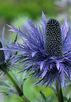 Sea holly (Eryngium alpinum) has a wonderful, steely-blue color, intriguing spiky foliage, and a seriously tough nature. We love it as a contrast to billowing textures.