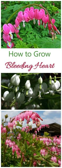 The flowers of an old fashioned bleeding heart are the ultimate in romance. The plant is perennial and easy to grow if you keep just a few things in mind.