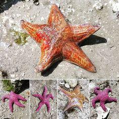 Star shine... . #seastars #starfish #allthefish #salishsea #telegraphharbour #seacritters #lowtide #five #pointy #orange #rusty #purple #magenta Magenta, Purple, Starfish, Orange, Photos, Instagram, Design, Pictures, Photographs
