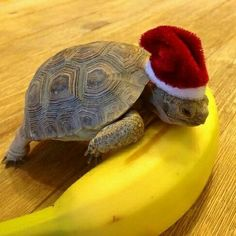 Are you thinking of buying a tortoise to keep? If so there are some important things to consider. Tortoise pet care takes some planning if you want to be. Cute Funny Animals, Funny Animal Pictures, Cute Baby Animals, Animals And Pets, Sulcata Tortoise, Tortoise Turtle, Cute Turtles, Turtle Love, Pet Turtle
