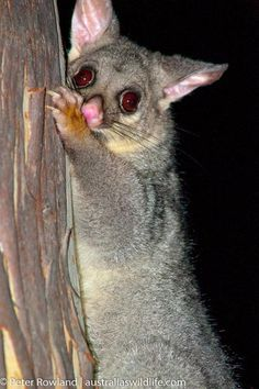 The Brush-tailed Possum generally uses large tree hollows for shelter, but will also use roof spaces and sheds of nearby dwellings.