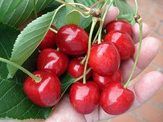 Michigan Cherries - picked them at my Gramma's every year.