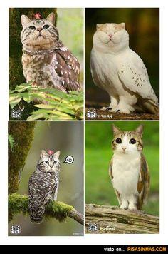 Búhos   Gatos.