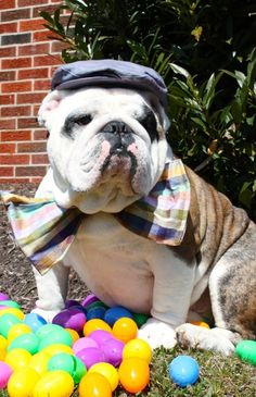 SAVE THE BULLDOG http://www.causes.com/actions/1742598-save-the-english-bulldog-breed
