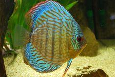 Discus Aquarium, Freshwater Aquarium, Aquariums, Pretty Fish, Beautiful Fish, Discus Fish For Sale, South American Cichlids, Dik Dik, Fish Feed