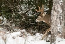 Big bucks, big sheds! Shed hunting in Ontario's northwest, a how-to guide on successful shed hunting by Alyssa Lloyd
