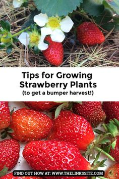and tips so you can successfully grow your own strawberries at home! Hints and tips so you can successfully grow your own strawberries at home! Backyard Vegetable Gardens, Fruit Garden, Edible Garden, Growing Vegetables, Growing Plants, Gardening For Beginners, Gardening Tips, Kitchen Gardening, Sun Loving Plants