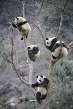 Pandas treed ~ in Sichuan Province, Western China