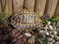La tortue d'Hermann occidentale (Eurotestudo hermanni)