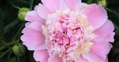 """Paeonia sp. Peonies fill the plant family of Paeoniaceae. They are native to Asia, Europe, and the western parts of North America. Peonies grow from tuberous roots. Place the tubers in fertile, humus-rich soil that drains well. Peonies should be planted in the fall with the """"eyes"""" only about 2..."""
