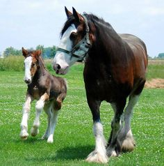Shop Clydesdale and Filly print created by Personalize it with photos & text or purchase as is! Big Horses, Pretty Horses, Horse Love, Beautiful Horses, Animals Beautiful, Horses And Dogs, Clydesdale Horses, Breyer Horses, Draft Horses
