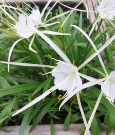 Spider Lily (Hymenocallis liriosme)
