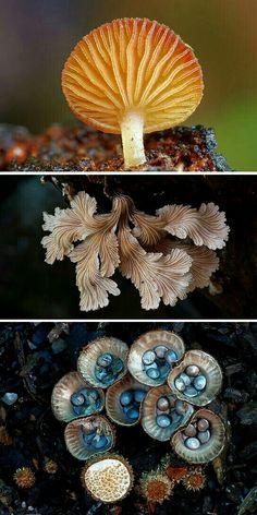 Aussie fungi