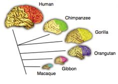 Comparison of the frontal lobes among human and other non-human primate species. The connecting lines indicate the evolutionary relationships among the species. Katerina Semendeferi and colleagues found that the frontal lobes in humans are not disproportionately larger than expected for a primate brain of its size. Figure and caption adapted from Passingham (2002).