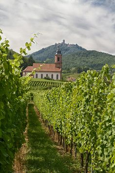 Vineyards of Orschwiller, Alsace, France