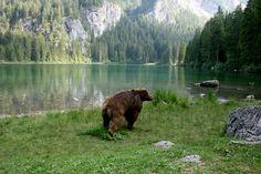 L'#orso da sempre popola la zona del #LagodiTovel! Non è raro incontrarlo mentre passeggia tra i prati! La #natura del #ParcoNaturale #AdamelloBrenta è davvero meravigliosa!