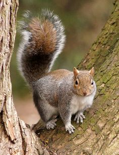 Squirrel Girl, Cute Squirrel, Squirrels, Squirrel Pictures, Animal Pictures, Cute Funny Animals, Cute Baby Animals, Beautiful Creatures, Animals Beautiful