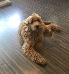 Dog Love, Puppy Love, Animals And Pets, Cute Animals, Doodle Dog, Goldendoodles, New Puppy, Baby Fever, Poodle
