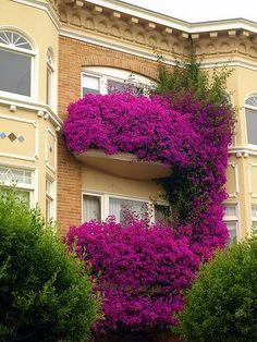 Bougainvillea splendor...window boxes. Yes, please.