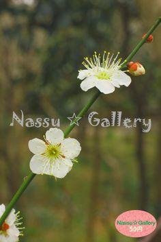 春が近付いていますね!梅の写真をUpしていますので、是非見に来てください☆ Spring I approaching ! Since the plum photo has been Up, please come to see us ☆ #nassu #photo #japan #flowers #plants #plum #花 #植物 #写真素材 #BASE