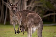 Kangaroos are one of many marsupials native to Australia, and are expert jumpers, and even swimmers, that live in groups called mobs.