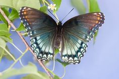 Real Beautiful Butterflies | Photo of the beautiful colors on a Red-spotted Purple Butterfly in the ...