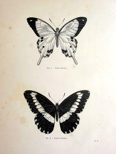 Vintage butterfly print antique original 1860 by TheLyraNebula, $25.00