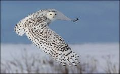 Snowy Owl, looks like the one we gave Scout, just beautiful