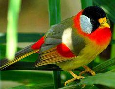 Silver-eared Mesia. South East Asia