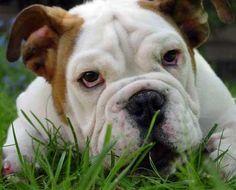 Google Image Result for http://dogbreedinsight.com/wp-content/uploads/2012/02/Bulldog-15.jpg