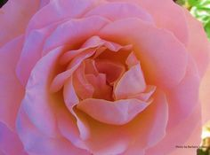 Barbara Schaer  for #RosesOpenWeekend