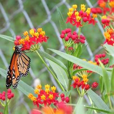 Farmers Key to Bringing Monarch Butterflies Back From the Brink of Extinction