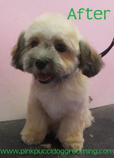 Lucky The Shi-poo Before & After Dog Grooming Example Shitzu Puppies, Shih Tzu Puppy, Baby Puppies, Shih Tzus, Havanese, Dog Grooming Styles, Pet Grooming, Cute Little Dogs, Cute Dogs