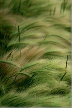 green wheat, bending in the breeze ... beautiful