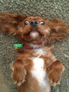 16 Reasons Cavalier King Charles Spaniels Are The Worst Indoor Dog Breeds Of All Time Cute Puppies, Cute Dogs, Roi Charles, Baby Animals, Cute Animals, Cockerspaniel, Best Dog Breeds, Tier Fotos, King Charles Spaniel
