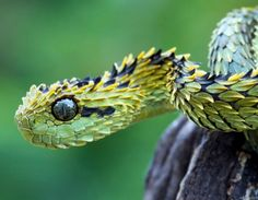 Horned Bush Viper. *shudders   ...........click here to find out more     http://googydog.com