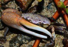 Fiddler crab, Portland Bight, Jamaica.