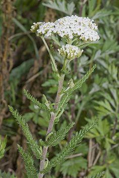 Achillea millefolium Бял равнец