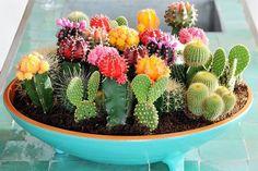 Semillas de cactus semillas Cactaceae Mix 50 semillas