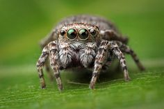 Jumping spider by Krisztián Márkus on Jumping Spider, Bugs And Insects, Creepy, Pets, Animals, Spiders, Jumpers, Reptiles, Art Reference