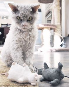 Albert is pictured with a sinister paw on the tail of a toy mouse, with the same angered l...