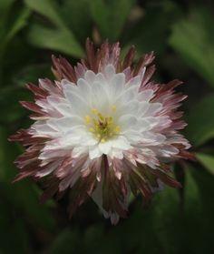 Anemone nemorosa 'Explosion' Anemone Hepatica, Wood Anemone, Bulbs, Beautiful Flowers, Butterflies, Flora, Planters, Carpet, Lily