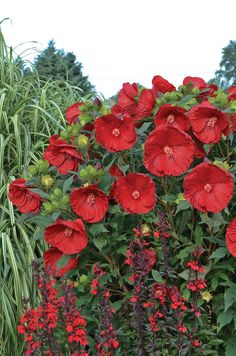 'Cranberry Crush' Hibiscus is the plant you want if you're looking to add late summer wow to your garden. Nothing amazes as much as the dinner plant sized blooms that keep coming for weeks. Hardy to zone 4 too.