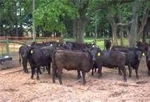 Angus Cattle - Bing Images