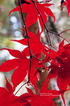 Japanese Maple & Droplets