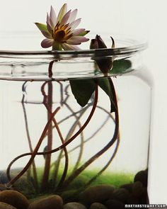 Small freshwater gardens are fun to create and simple to care for. And all you need are a few floating or submerged greens in a vintage aquarium, an apothecary jar, or a sleek glass cylinder.