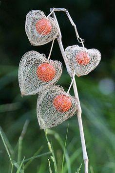 A lanterna chinesa (physalis alkekengi) floresce no final da primavera com flores brancas que, uma vez polinizadas, se tornam curiosas lâmpadas de cor rojizo. Estas lâmpadas escondem no seu interior um caro fruto comestível, semelhante a uma cereja.