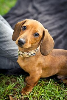 Ummm a dachshund Wearing a Burberry collar? Future companion , Miss Maisey. If only my life were not so complicated Dachshund Puppies, Weenie Dogs, Dachshund Love, Chihuahua, Cute Puppies, Cute Dogs, Daschund, Doggies, Puppy Dog Eyes