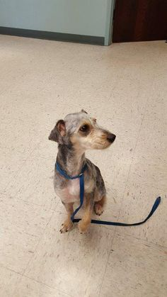 ●9•28•17 SL● ■OKLAHOMA■ Meet Indy, an adoptable Schnauzer looking for a forever home. If you're looking for a new pet to adopt or want information on how to get involved with adoptable pets, Petfinder.com is a great resource.