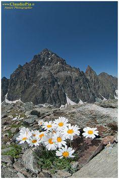 leucanthemopsis alpina, fiori di montagna, alpini, fotografia, foto, alpine flowers, Monviso